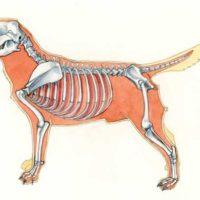 sviluppo muscolo scheletrico